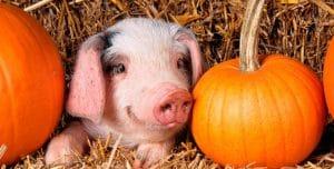 odds-pumpkin-pig-for-blog-1024x520
