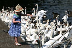 feed the swans this summer staying safe in the sun